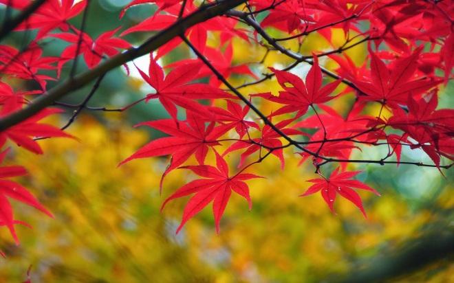 hd-herfst-achtergronden-foto-met-een-tak-met-rode-herfstbladeren-hd-herfst-wallpapers